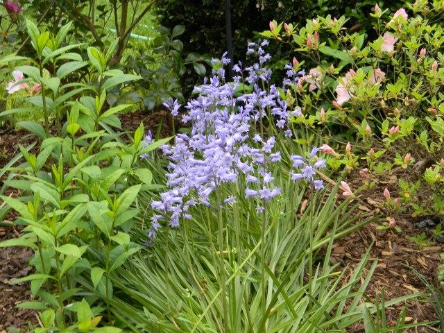 Bluebells...a perennial favorite