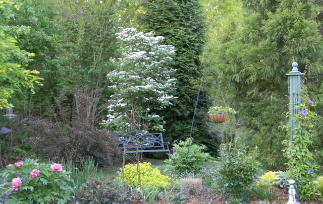 Summer Snowflake viburnum (Viburnum plicatum var. 'Summer Snowflake') takes center stage in my spring border