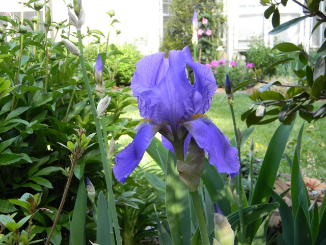 Mary Ann's iris