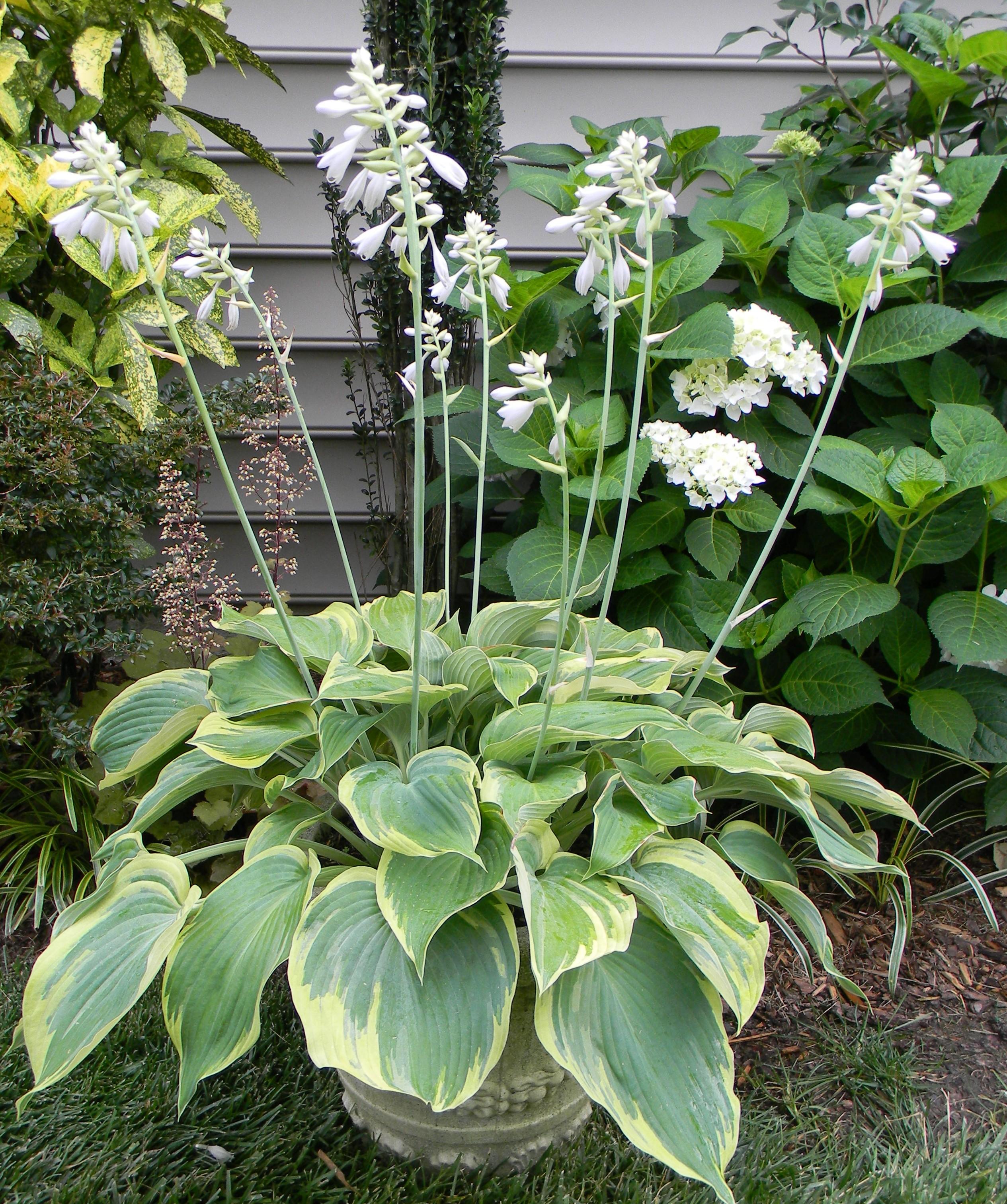 Hostas In A Pot A Walk In The Garden
