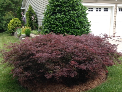 Acer palmatum Japanese maple