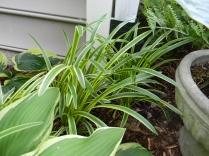 Liriope variegata