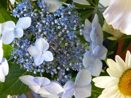 Lace Cap Hydrangea 'Twist and Shout'