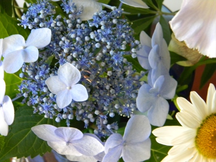 Lace Cap Hydrangea 'Twist and Shout'