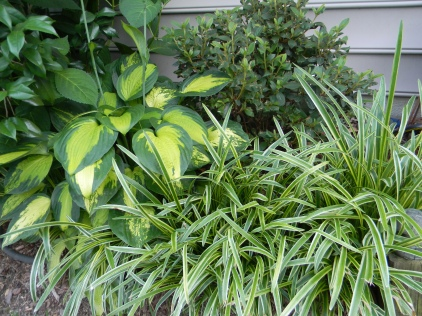 Hosta 'Captain Kirk' with variegated liriope and Azalea 'Autumn Lily'