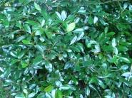 Ternstroemia gymnanthera Japanese cleyera