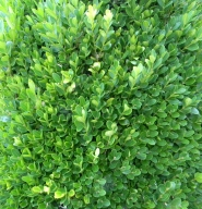 English boxwood