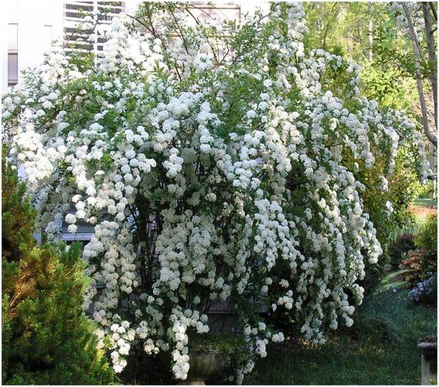 White spirea