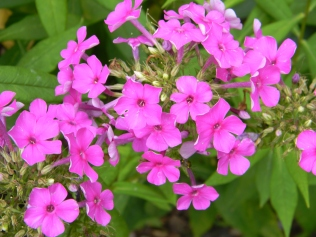 Phlox Flame Violet