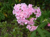 Pink garden phlox