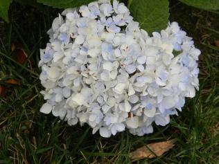 Hydrangea Blushing Bride