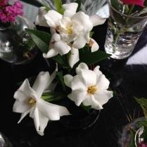 Radicans gardenia