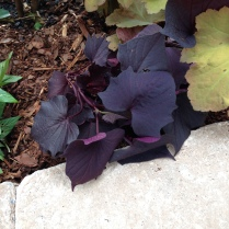 Sweet Caroline Bewitched sweet potato vine
