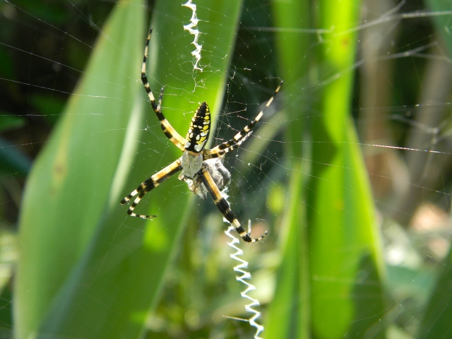 Argiope aurantia Writing Spider