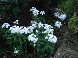 Garden Phlox 'David'