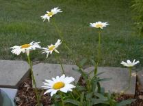 'Becky' daisy