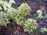 'Little Lime' hydrangea