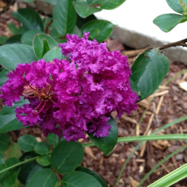 'Purple Magic' crape myrtle