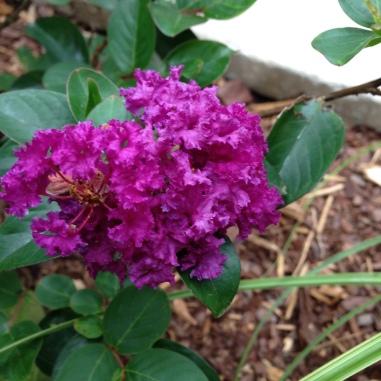 'Purple Magic' crape myrtle