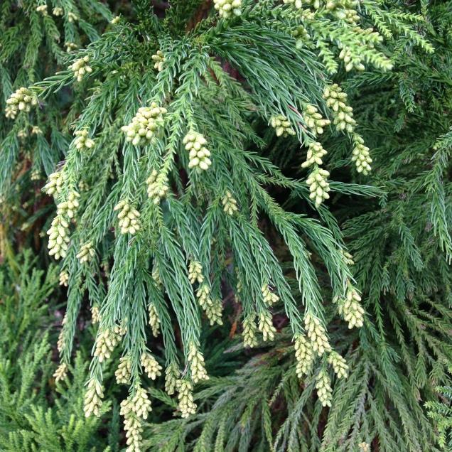 Cryptomeria japonica 'Yoshino'
