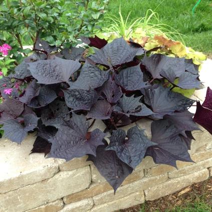 Ipomea batatas 'Sweet Caroline Bewitched' potato vine
