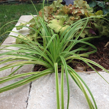 Carex trifida 'Rekohu Sunrise'