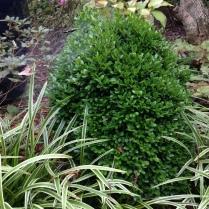 Buxus sempervirens English boxwood