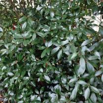 Ternstroemia gymnanthera Cleyera japonica