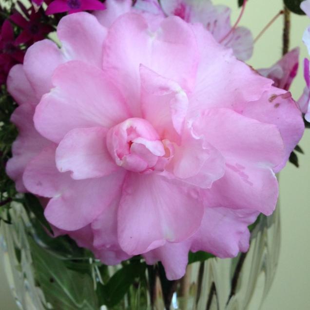 Camellia sasanqua 'Our Linda'