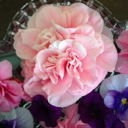 Camellia sasanqua 'Debutante'
