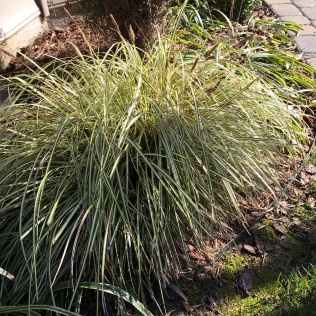 Carex morrowii 'Old Gold'