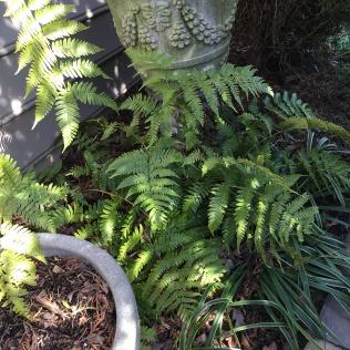 Dryopteris erythorosora 'Autumn Fern'