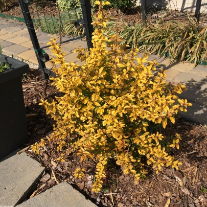 Ligustrum sinense 'Sunshine'