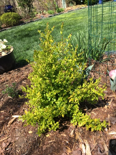 Ligustrum 'Sunshine'