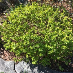 Barberry 'Bonanza'
