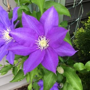 Clematis 'Etoile Violette'