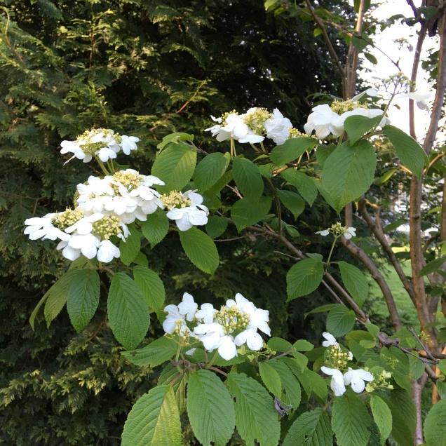 Viburnum plicatum var.tomentosum 'Summer Snowflake'