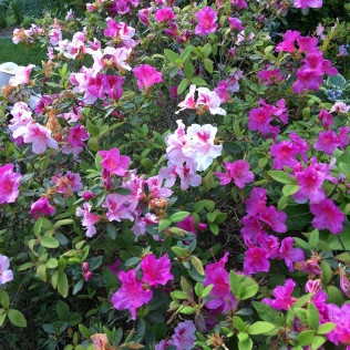 Encore azalea 'Autumn Twist;