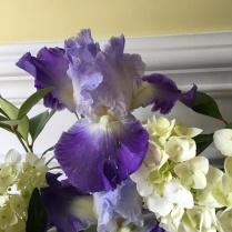 Iris 'Clarence'