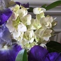 Hudrangea 'Blushing Bride'