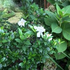 Gardenia 'Jubilation'