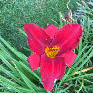 Daylily 'Early Red'